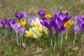 Close-up Crocus — Stock Photo