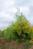 Asparagus field — Stock Photo