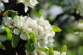 Flowering of pear tree — Stock fotografie