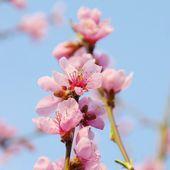 花桃の木から — ストック写真