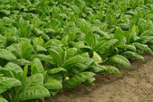 Cultivated Tobacco — Stock Photo