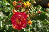 Close-up rose — Stock Photo