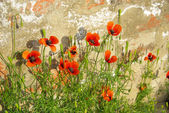 Corn poppy before the wall — Stock Photo