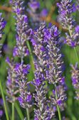 Close-up lavender — Stock Photo