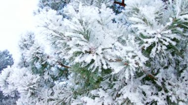 Pine twig with hoarfrost — Vídeo de Stock