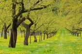 Wachau apricot trees — Photo