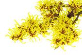 Hamamelis flower — Stock Photo