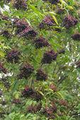 Elderberry bush — Stock Photo