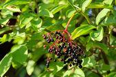 Elderberry branch — Stock Photo