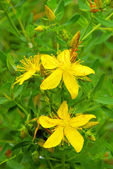 St Johns wort  — Stock Photo