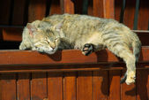 Cat lying on wooden table — Stockfoto