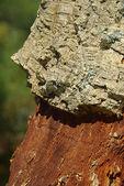 Cork oak  — Stock Photo