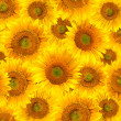 Royalty-Free Stock Photo: Sunflowers background
