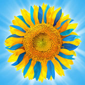 Sunflower in colors of Ukrainian flag — Stock Photo