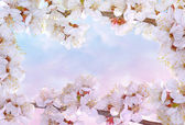 Flowering cherry frame — Stock Photo