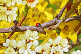 Ladybug sitting on Forsythia bush — Stock Photo