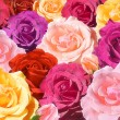 Multicolored roses closeup — Stock Photo