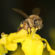 Bee on a Canola Petal — Stock Photo