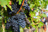 Close up of blue grapes — Stock Photo