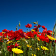 Red Poppies and Yellow Daisies — Stock Photo