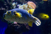Close up of blackspotted puffer — Стоковое фото
