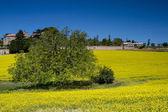 Blooming mustard field — Stock Photo
