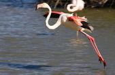 Flamingo preparing for touchdown — Stock Photo
