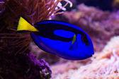 Blue Surgeonfish — Stock Photo