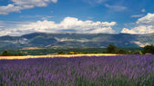 Wheat and Lavender fields — Stock Photo