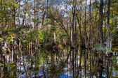 Cypress of the Everglades reflecting in a swamp — Stock Photo