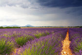 Endless Lavender Fields — Stock Photo