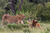 Playing Lion Cubs — ストック写真