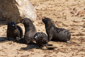 Four young seal pubs playing at the beach — Stock Photo