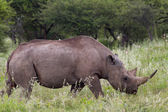 White Rhinoceros at Etosha National Park — Stock Photo