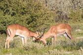 Impala di combattimento — Foto Stock