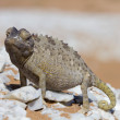 Close up of a desert chameleon — Stock Photo #45115833
