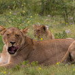 Постер, плакат: Lioness resting in the grass
