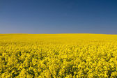 Endless yellow canola field under a blue sky — Stock Photo