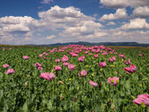 Opium Poppy field in full bloom — Stock Photo