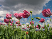 Close up of opium poppies — Stock Photo