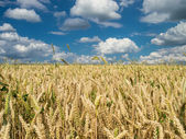 Wheat field under a partly cloudy sky — Stock Photo