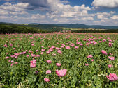 Opium Poppy field in a rural landscape — Stock Photo