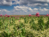 Marguerite and pink poppy meadow — Stock Photo