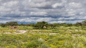 Zebra's op een veld met gele bloemen — Stockfoto