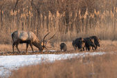 Deer and wild boar — Stock Photo