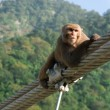 Monkey on the pendant bridge — Stock Photo