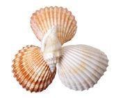 Close-up seashells on white — Stock Photo