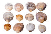 Collection of sea cockleshells — Stock Photo
