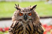 European Eagle Owl — Stock Photo