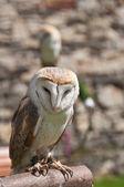 Barn owls — Stock Photo